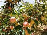 برداشت 8 هزار تن سیب گلاب