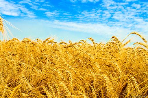 افزایش نرخ گندم، خرید این محصول را در آذربایجان غربی افزایش خواهد داد