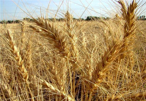 کیل گیری مزارع گندم آبی در شهرکرد
