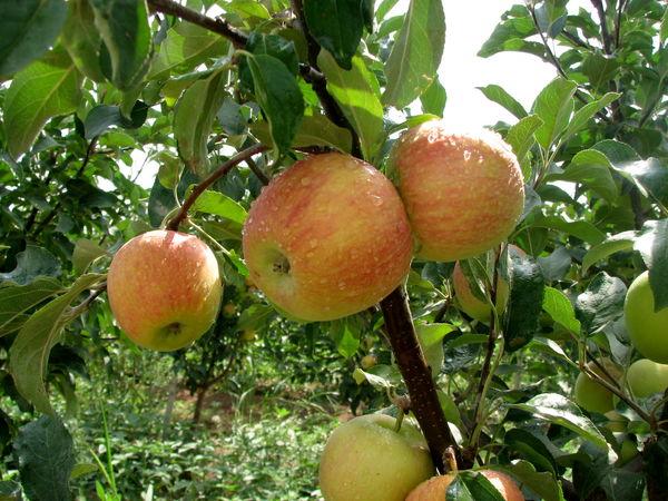 سالانه 500 هزار تن محصولات باغی در استان قزوین تولید میشود