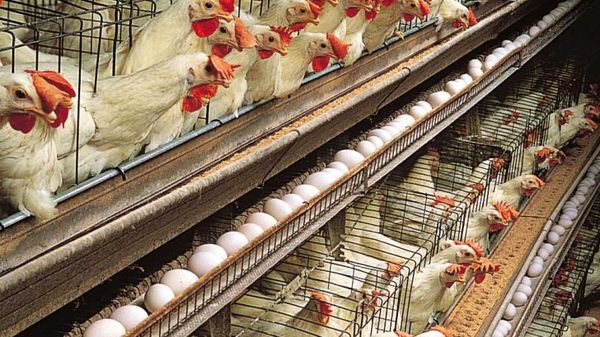 تولید 674 هزار تن تخم مرغ در سال 96