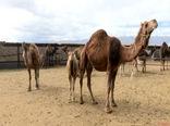 شهرستان نرماشیر پتانسیل لازم جهت پرورش شتر را داراست