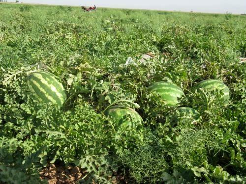 برداشت 58 هزار تن محصول آبی و دیم در خراسان جنوبی