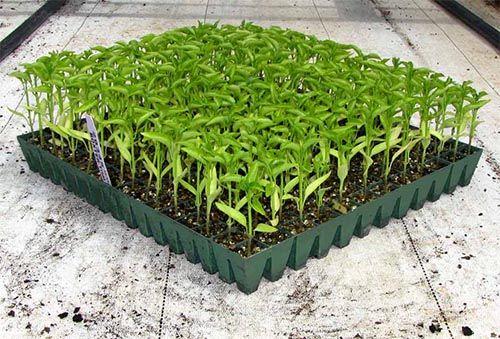 کاشت گوجه فرنگی خارج از فصل در لارستان آغاز شد