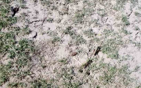 مبارزه با ملخ در سطح 1350 هکتار از مراتع سیستان
