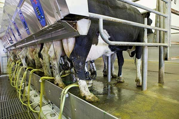 دامداران جنوب تهران در 5ماهه نخست امسال 94 هزارتن شیر خام تولید کردند