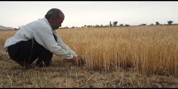 آغاز برداشت جو در کویر مرکزی ایران