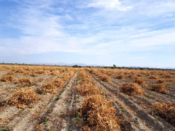 پایان عملیات برداشت لوبیا در مزارع بخش رودخانه شهرستان رودان