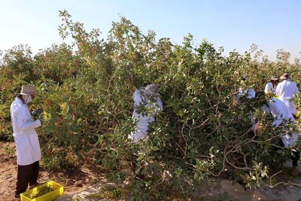 برداشت پسته  از ۳۷ هزار هکتار باغات بارور شهرستان زرند