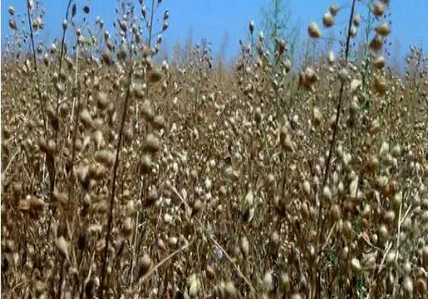 آغاز برداشت نخستین دانه کاملینا از مزارع خراسان شمالی
