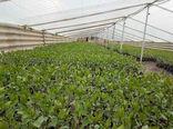 تولید و توزیع  35 هزار اصله نهال پسته در بین کشاورزان توسط ایستگاه تحقیقات کشاورزی و آبخوانداری تسوج