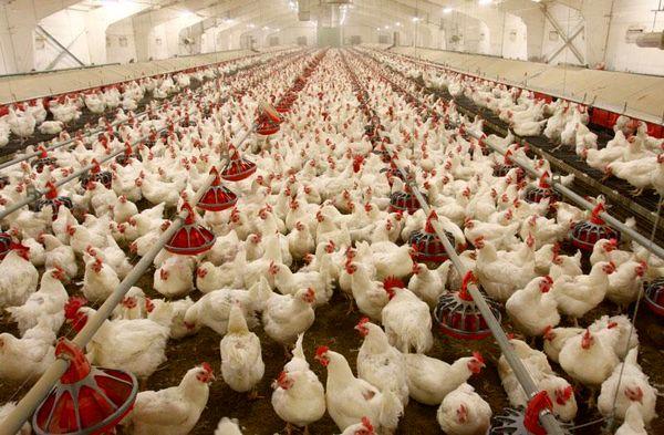 تنها ۵۸ درصد دان مرغداران خراسان شمالی، یارانهای دریافت شد