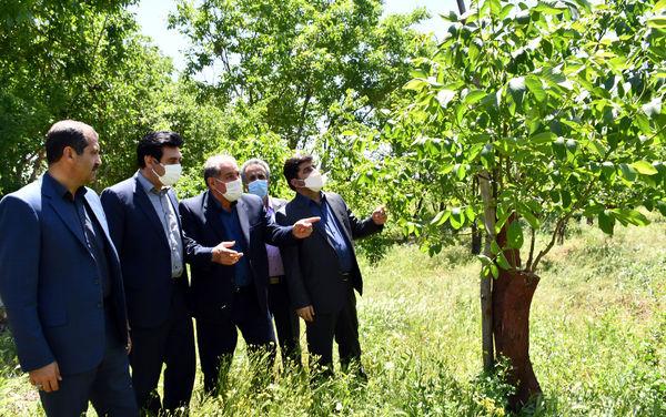 تعویض تاج و سرشاخه کاری درسطح 560 هکتار باغات گردوی استان آذربایجان شرقی