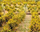 کشت گیاهان مقاوم به شوری در خوزستان
