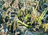احتمال خسارت به محصولات کشاورزی در اثر سرمازدگی