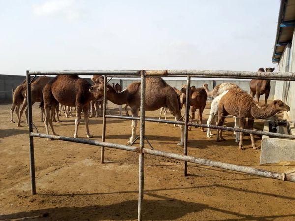 بازدید مدیر جهاد کشاورزی فاروج از واحد های پرورش شتر