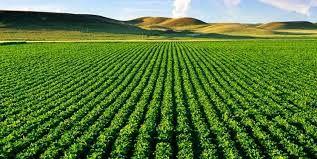 سه هزار هکتار سطح زیر کشت دانه روغنی سویا در این شهرستان