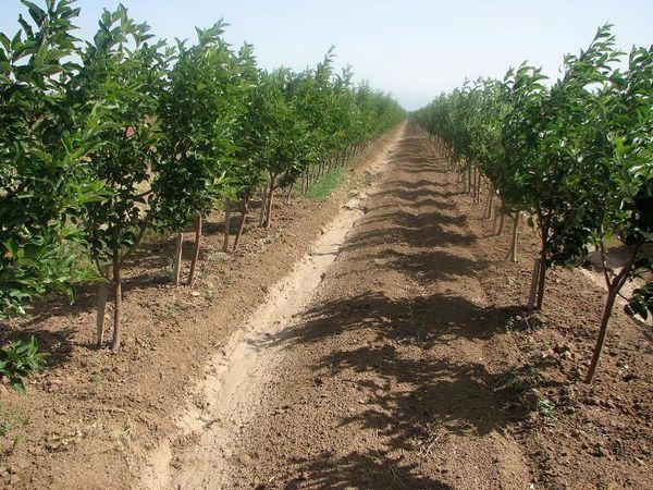 ۸۰۰ هکتار اراضی کشاورزی شهرستان البرز تحت پوشش بیمه  قرار  گرفت