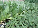 آغاز ثبت نام متقاضیان استفاده از تسهیلات 4 درصدی برای کشت گیاهان دارویی در آذربایجان غربی