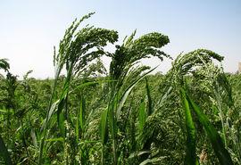۲۶تن ارزن درمزارع کشاورزی شهرستان البرز تولید شد