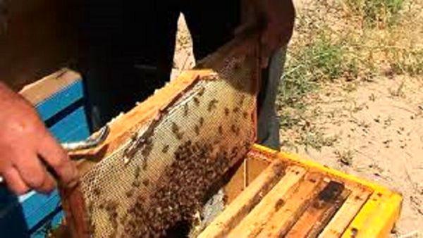 زنجیره ناقص، چالش زنبورداری کردستان است
