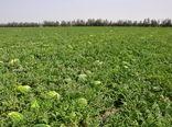 برداشت محصولات جالیزی - سیستان