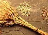 افزایش 23 درصدی تولید بذر گندم در کشور