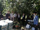 برداشت سیب در شهرستان شیروان آغاز شد