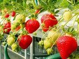 پیشبینی برداشت 1200تن توتفرنگی از گلخانههای ورامین