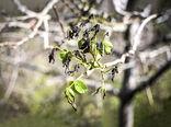 محصولات باغی استان سمنان دچار سرمازدگی شد