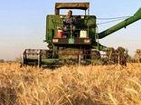برداشت گندم در بافق ۱۳ درصد افزایش یافت