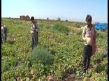 اجرای روش نوین آبیاری در ۹۰ درصد مزارع صیفی