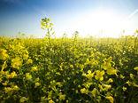 توسعه کشت دانههای روغنی از اولویتهای برنامه الگوی کشت است