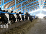 افزایش ۱۲ درصدی تعداد گاو و گوساله دامداریهای کشور در پاییز امسال