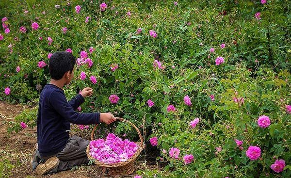 نطنز یکی از قطب های تولید گل محمدی در استان اصفهان