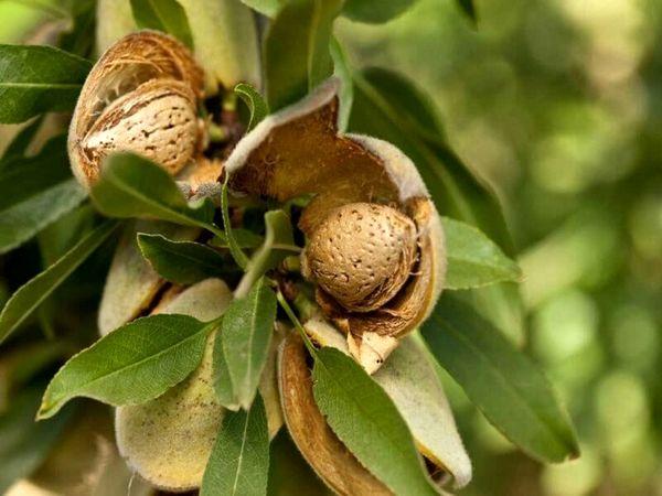 ارزآوری یک میلیون دلاری چهارمحال و بختیاری از صادرات بادام