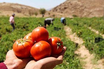 6000 تن گوجهفرنگی از اراضی کشاورزی دامغان برداشت میشود