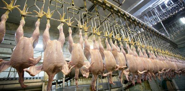 روزانه بیش از 270 تن مرغ در کشتارگاههای آذربایجان غربی عرضه میشود