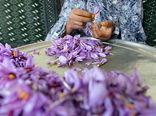 گلباف کرمان قطب تولید زعفران ارگانیک میشود