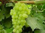 تولید بیش از 7 هزار تن انگور در آباده