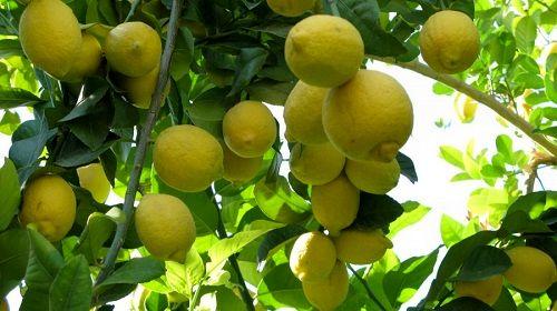 فارس قطب تولید لیمو شیرین کشور