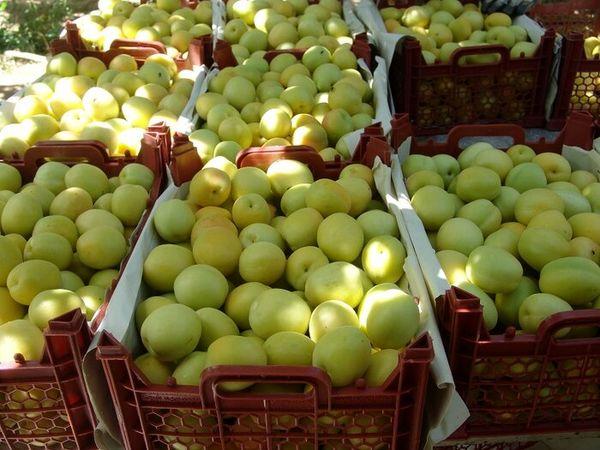 برداشت میوه در ابرکوه به نصف کاهش یافت