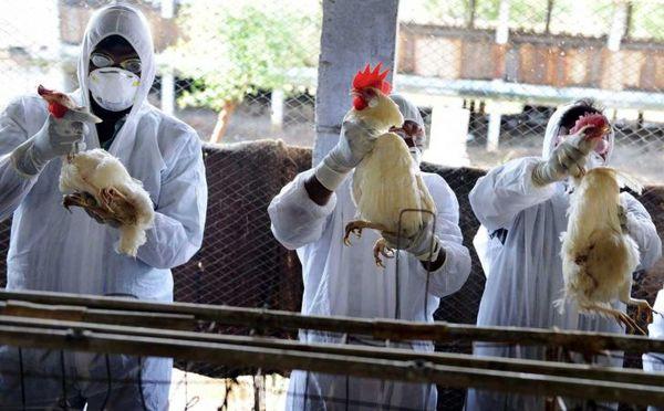 آنفلوآنزای فوقحاد پرندگان تحت کنترل است