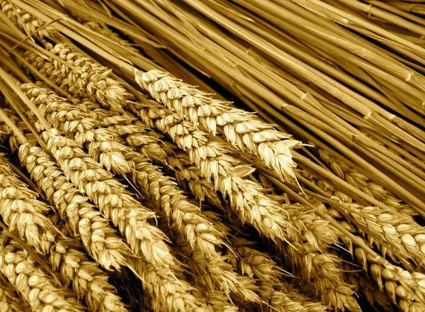 82 درصد سطح برنامه ابلاغی گندم محقق شد/ مصرف 0.6 درصدی سم در محصولات کشاورزی ایران