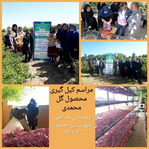کیل گیری محصول گل محمدی در سطح ۲ هکتار در روستای خداقلی
