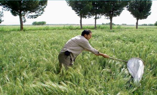 مبارزه با سن غلات در 102 هزار هکتار از اراضی کشاورزی استان قزوین انجام شد