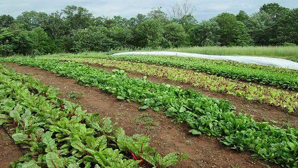 راهاندازی زنجیره کامل ماشینهای کشاورزی در مزرعه سبزیجات برگی و گیاهان دارویی