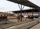 304 رأس گاو سمینتال – فلکویه از آلمان خریداری شد