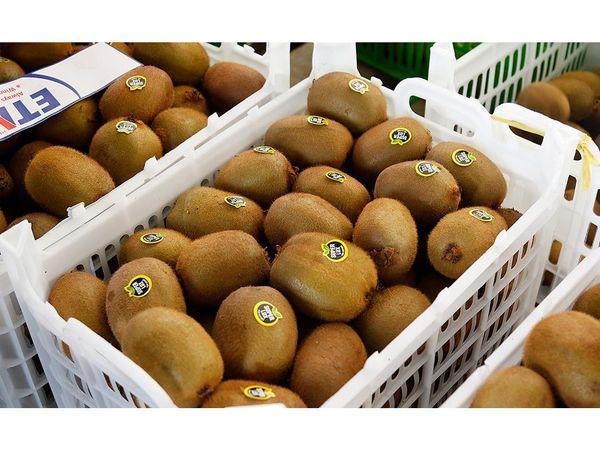 صادرات 3 هزار تن کیوی از نوشهر به خارج از کشور