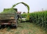 برداشت 11500 تن ذرت از مزارع میامی